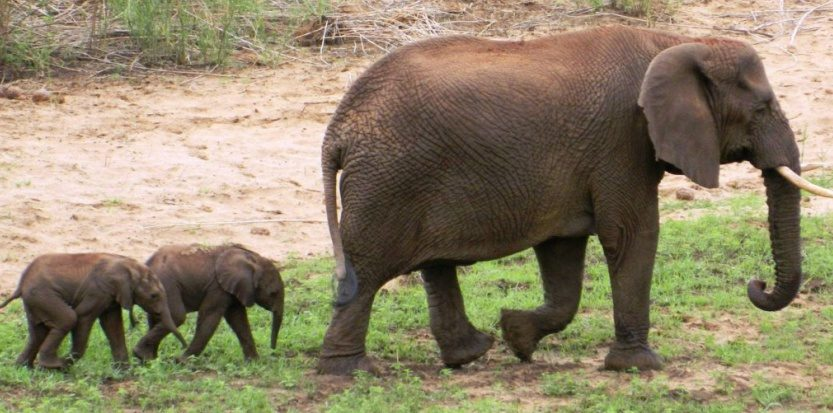 elephanteaux_jumeaux_rarissime.jpg