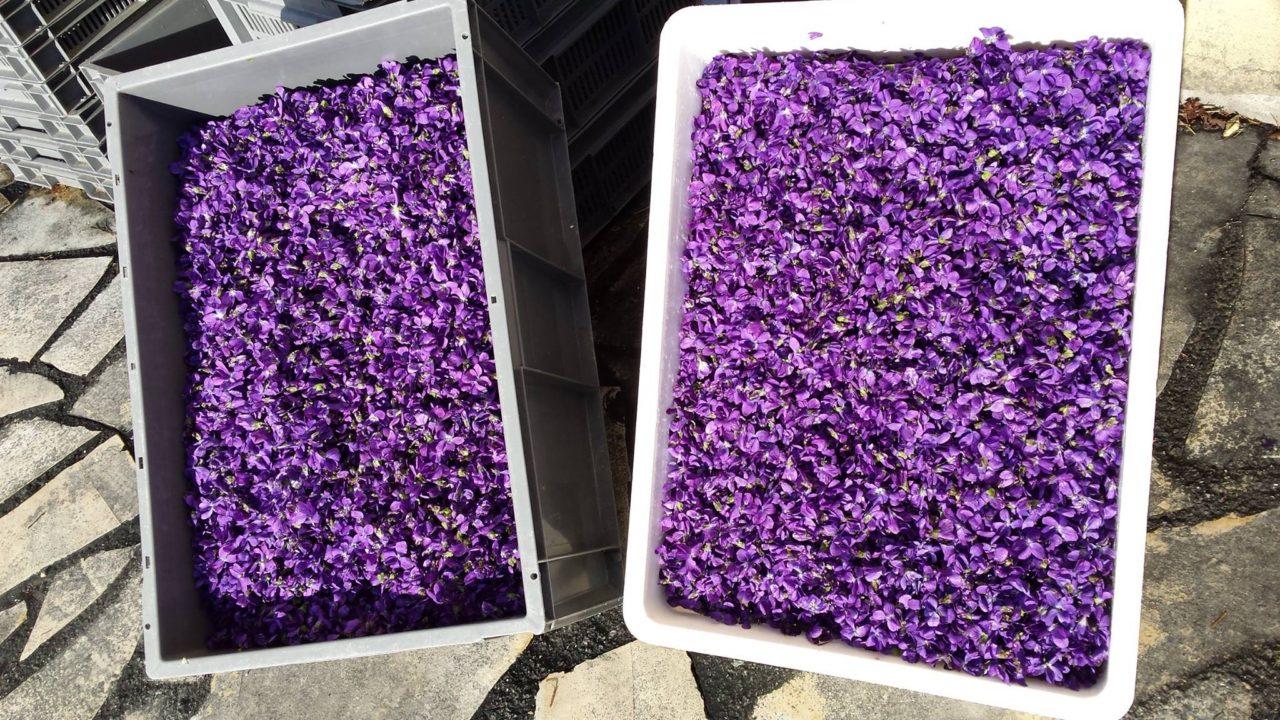 violettes_de_Tourrettes.jpg