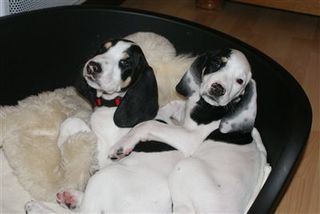 double_chien_006_tres_petite.jpg