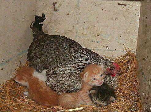 poule_et_chat.jpg