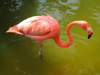 flamant_rose.jpg