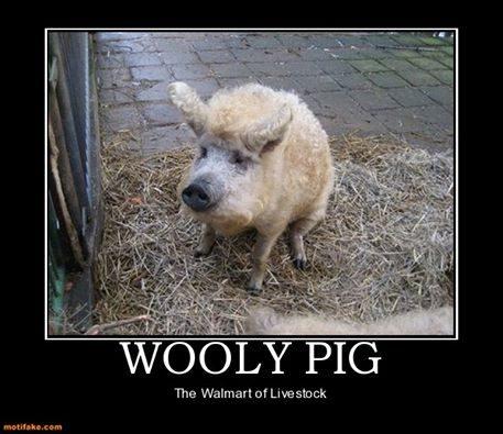 wooly_pig.jpg
